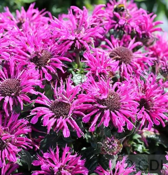 Indianernessel Balmy Lilac - großer Topf - Monarda didyma