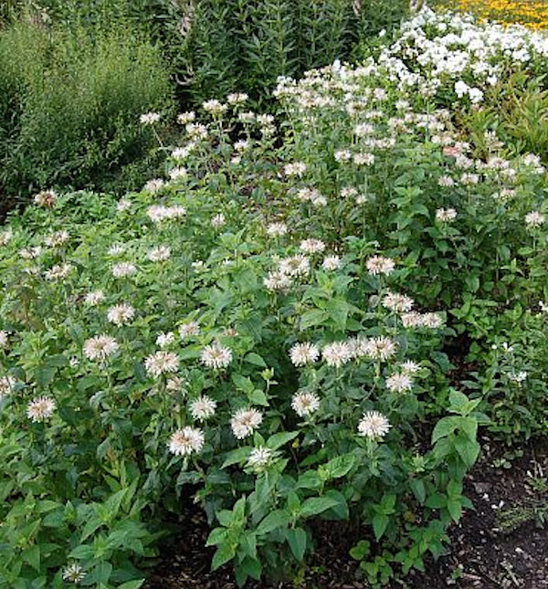 Indianernessel Snow Queen - Monarda fistulosa