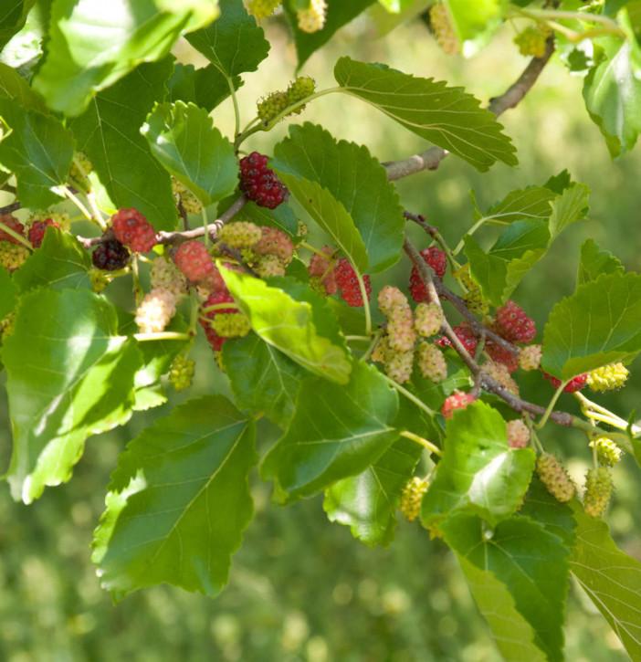 Hochstamm Zwerg Maulbeere Mojo Berry 80-100cm - Morus rotundiloba
