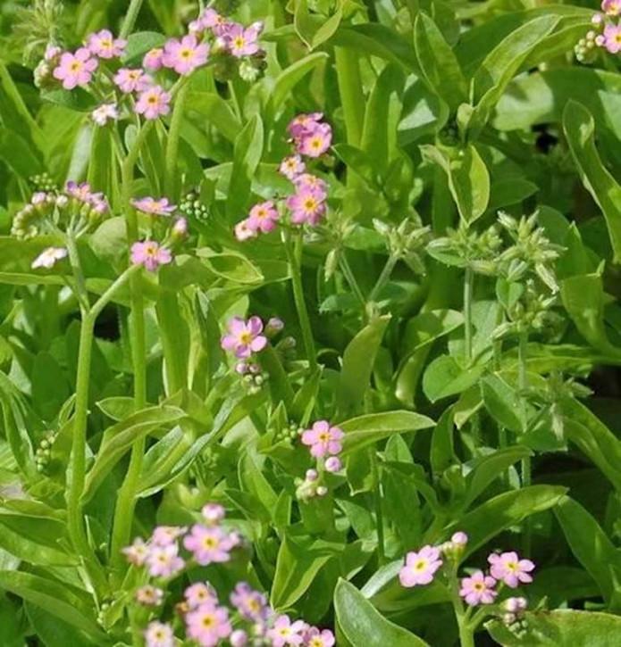 Sumpfvergißmeinnicht Pinkie - Myosotis palustris