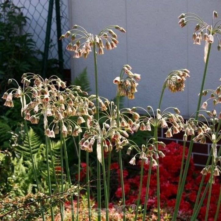 Sizilianischer Honiglauch - Nectaroscordum siculum