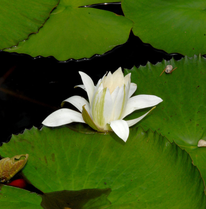 Seerose Marliacea Albida - Nymphaea