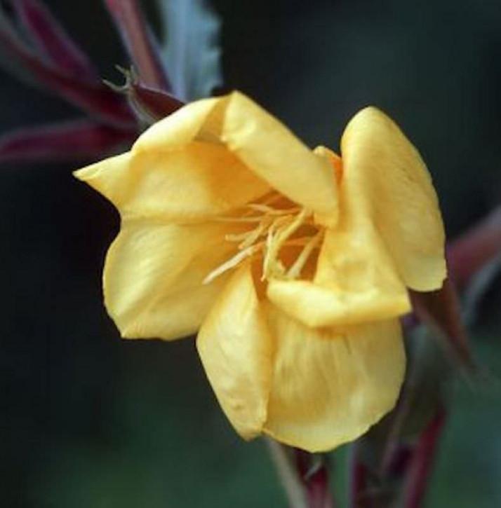 Duftende Nachtkerze - Oenothera odorata