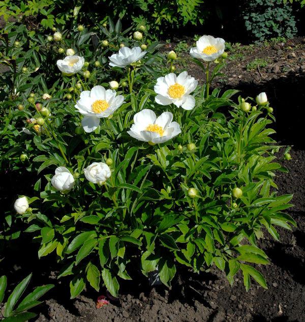 Edelpfingstrose Jan van Leeuwen - Paeonia lactiflora