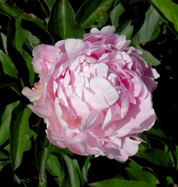 Edelpfingstrose Lady Alexandra Duff - Paeonia lactiflora