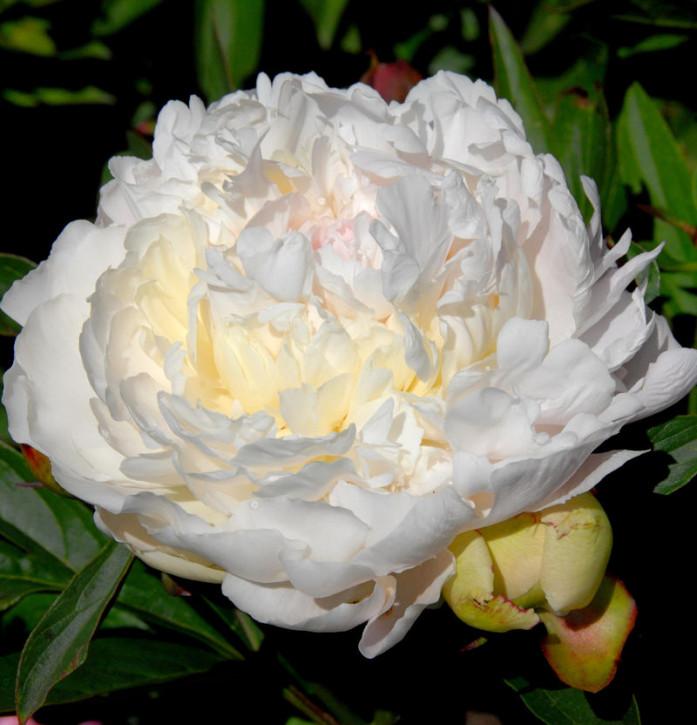 Edelpfingstrose Laura Dessert - Paeonia lactiflora
