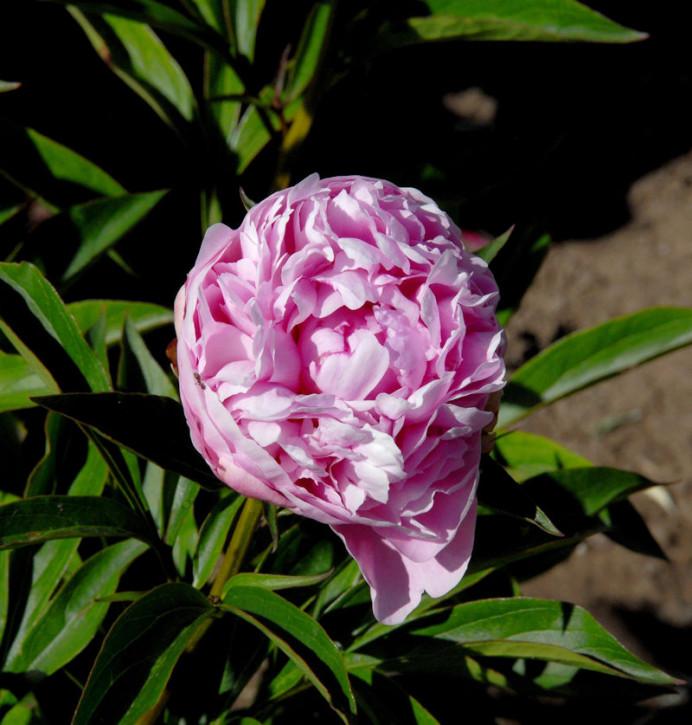 Edelpfingstrose Mammoth Rose - Paeonia lactiflora
