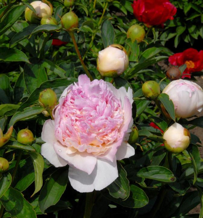Edelpfingstrose Raspberry Sundae - Paeonia lactiflora