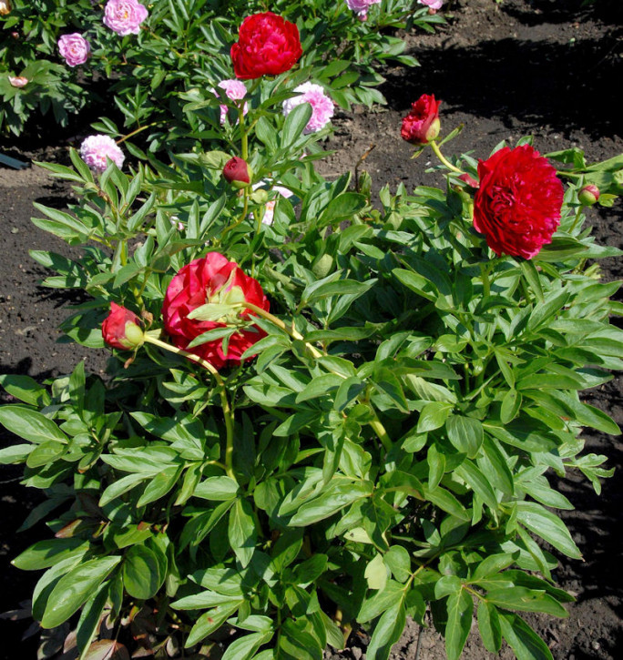 Edelpfingstrose Rosedale - Paeonia lactiflora