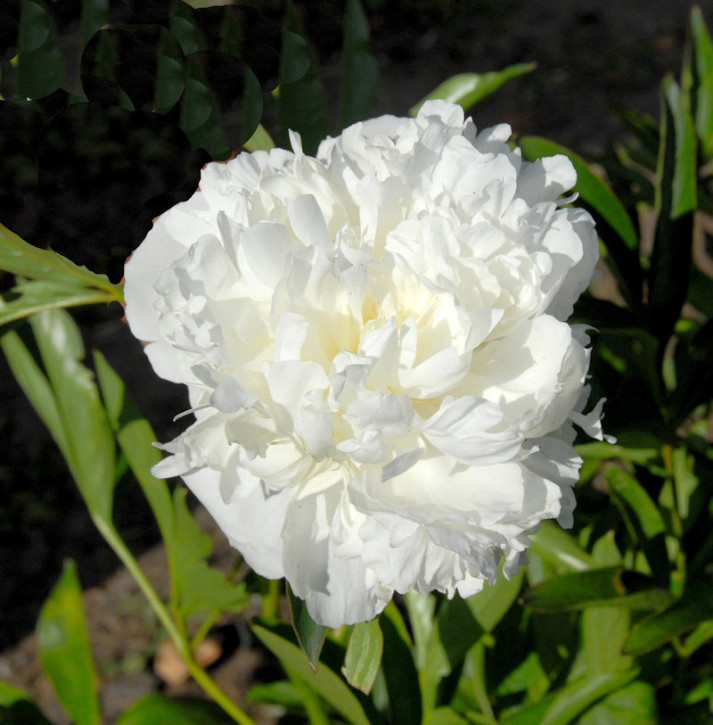 Edelpfingstrose Avalanche - Paeonia lactiflora