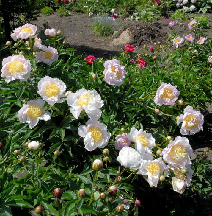 Edelpfingstrose Primevere - Paeonia lactiflora