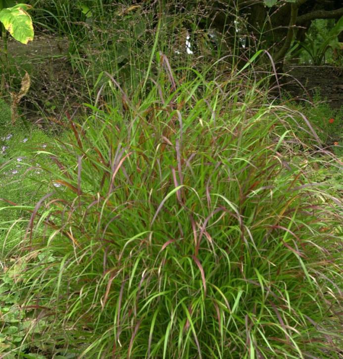 Rutenhirse Sangria - großer Topf - Panicum virgatum
