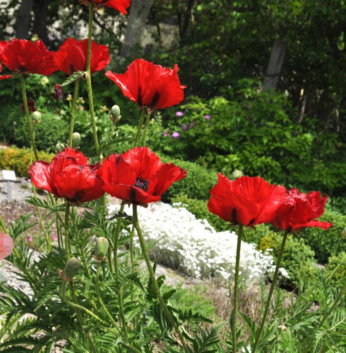 Türkischer Mohn Beauty of Livermere - Papaver orientale