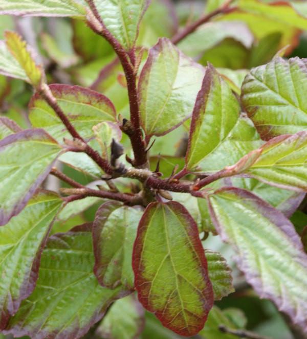 Eisenholzbaum Persian Spire 60-80cm - Parrotia persica