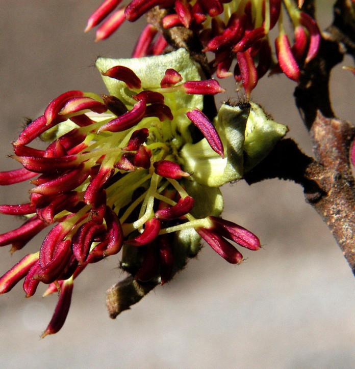 Eisenholzbaum Select 80-100cm - Parrotia persica