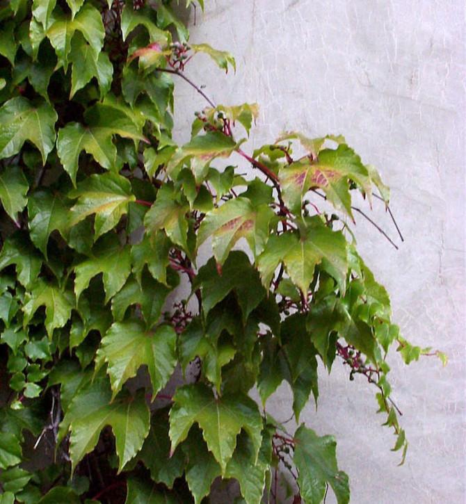 Jungfernrebe 60-80cm - Parthenocissus tricuspidata