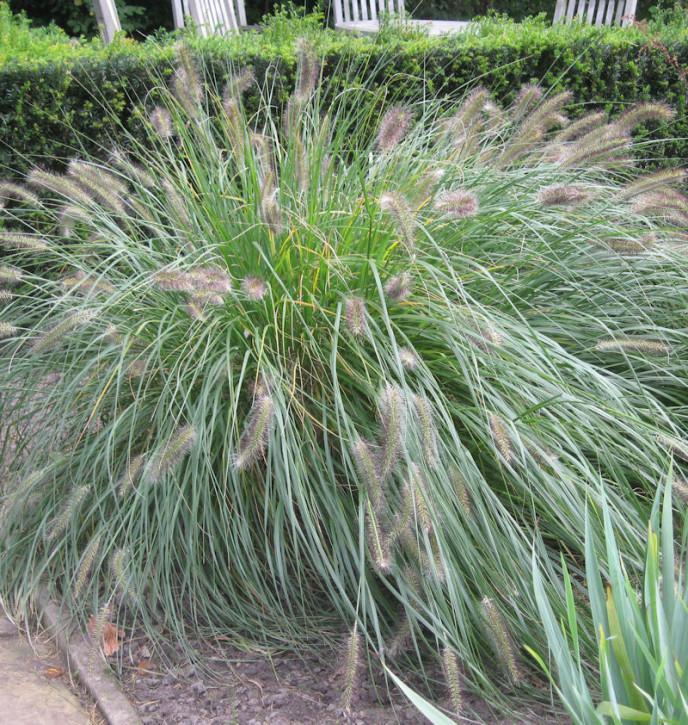 Lampenputzergras Pennstripe® - großer Topf - Pennisetum alopecuroides