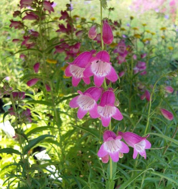 Bartfaden Polaris Rose - großer Topf - Penstemon barbatus