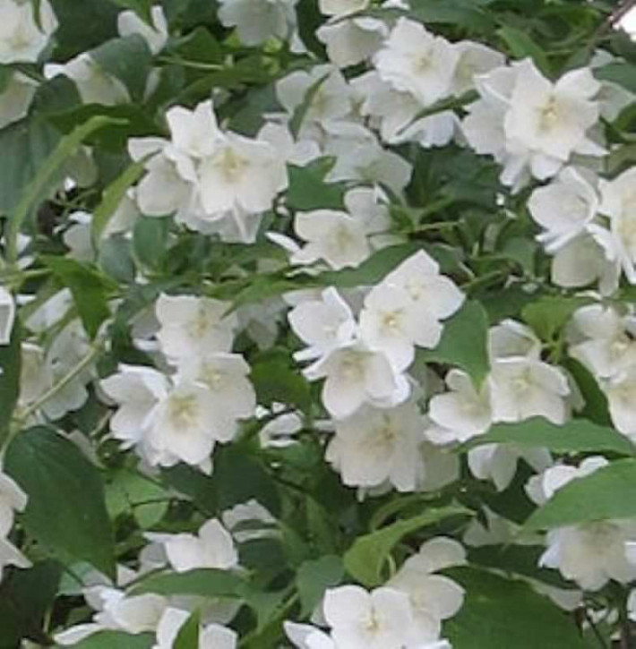 Gartenjasmin Silberregen 40-60cm - Philadelphus