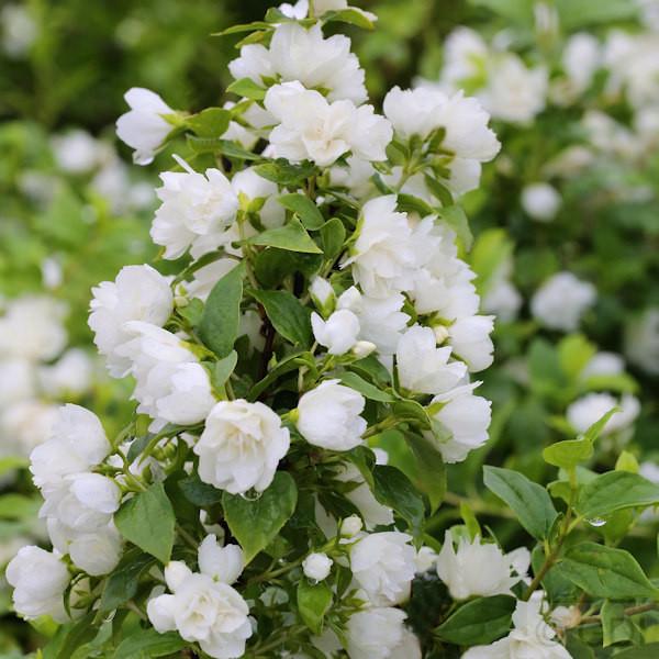 Gartenjasmin Snowbelle 30-40cm - Philadelphus