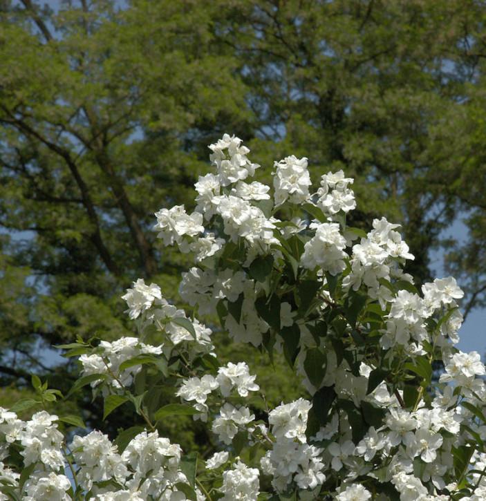 Gefüllter Gartenjasmin 100-125cm - Philadelphus