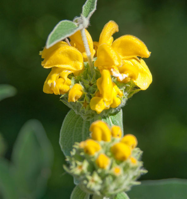 Gelbes Brandkraut - Phlomis fruticosa