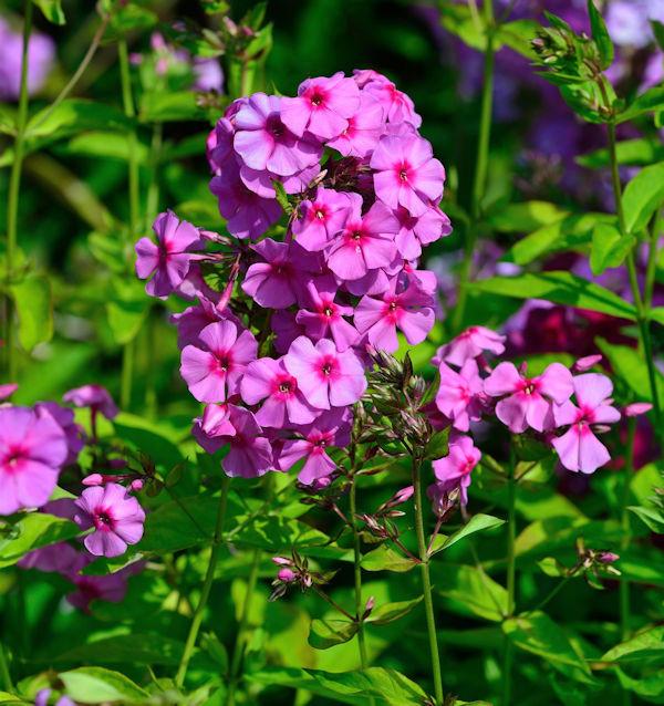 Hohe Flammenblume Dorffreude - Phlox Paniculata
