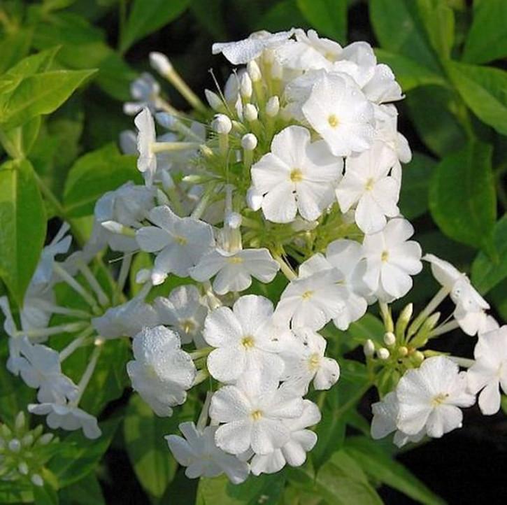 Hohe Flammenblume Fujiyama - Phlox Paniculata