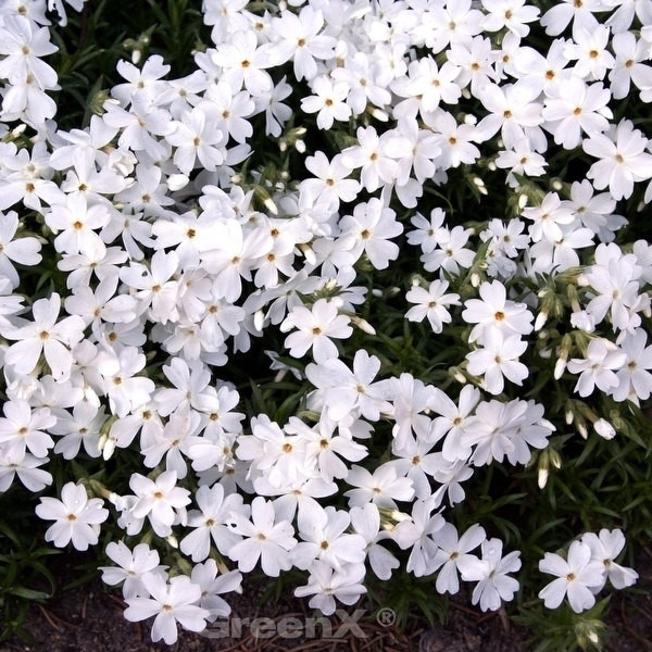 Großblättrige Flammenblume Weiße Wolke - Phlox amplifolia