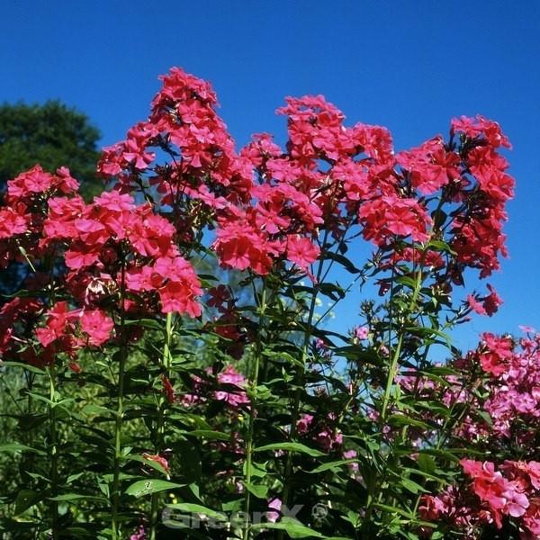 Hohe Flammenblume Coral Flame® - Phlox paniculata