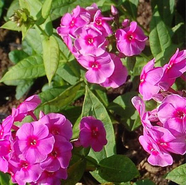 Hohe Flammenblume Cosmopolitan - Phlox paniculata