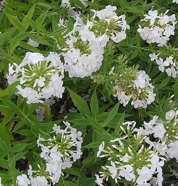 Hohe Flammenblume Hochgesang - Phlox paniculata