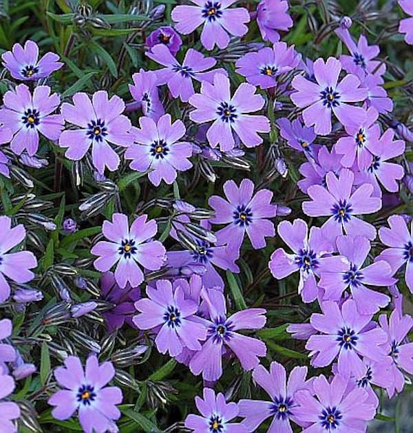 Teppich Phlox Purple Beauty - Phlox subulata