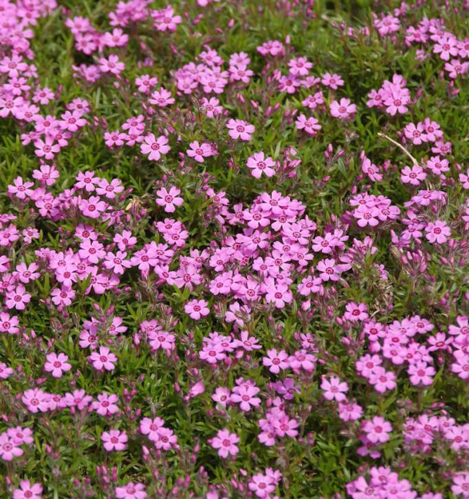 Niedrige Flammenblume Zwergenteppich - Phlox subulata