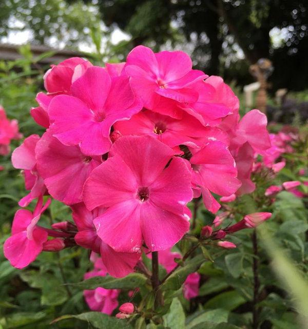 Große Garten-Flammenblume Special Fire - großer Topf - Phlox paniculata