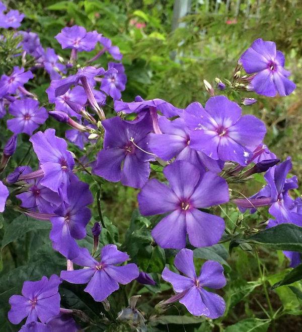 Große Garten-Flammenblume Special Purple Star - großer Topf - Phlox paniculata