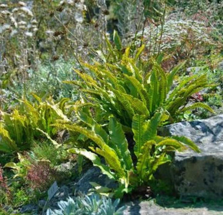 Hirschzungenfarn Cristata - Phyllitis scolopendrium
