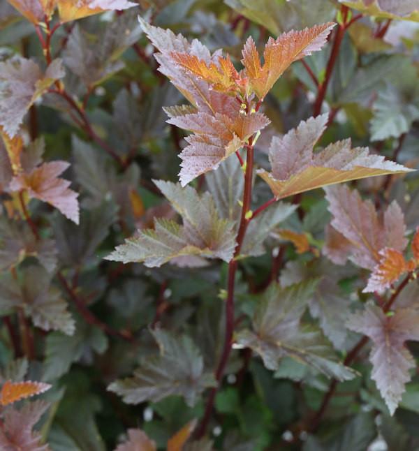 Fasanenspiere Little Joker 40-60cm - Physocarpus opulifolius Midnight