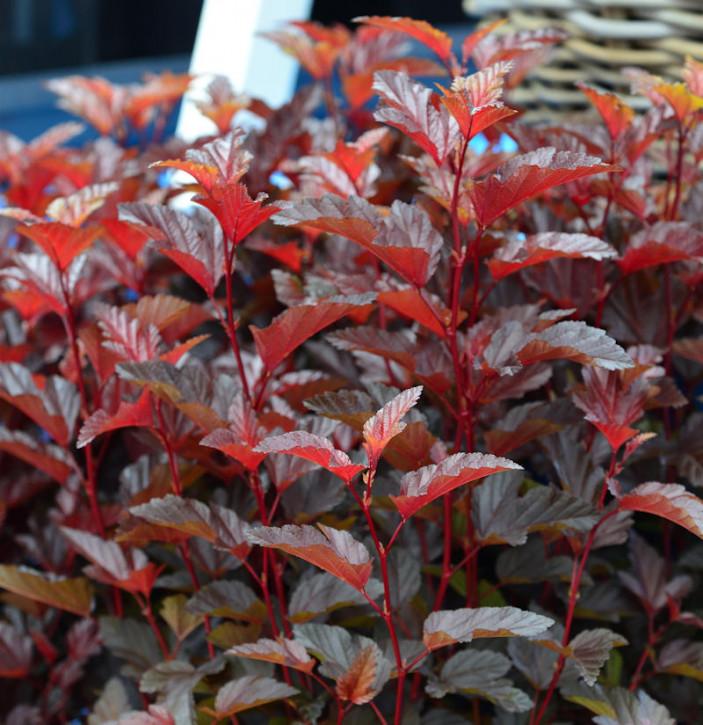 Hochstamm Blasenspiere Little Angel® 60-80cm - Physocarpus opulifolius