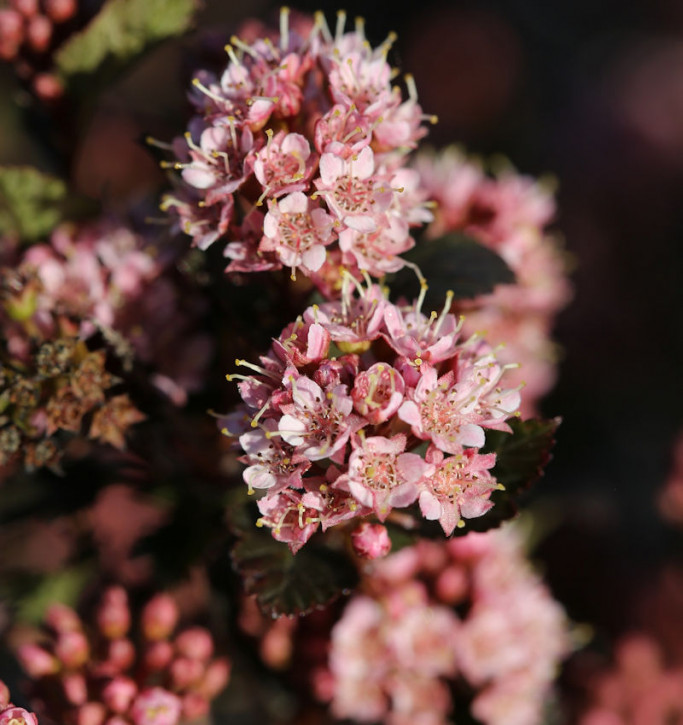 Hochstamm Blasenspiere Tiny Wine 60-80cm - Physocarpus opulifolius
