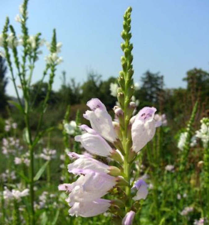 Gelenkblume Summer Snow - Physostegia virginiana