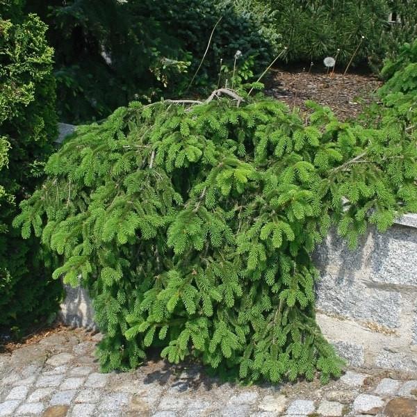 Zwerg Hängefichte Formanek 50-60cm - Picea abies