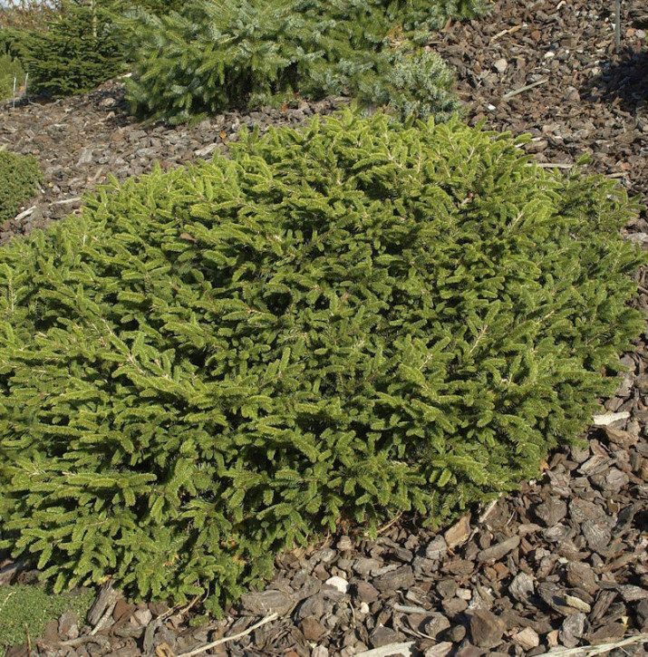 Blaue Pummelfichte 15-20cm - Picea abies