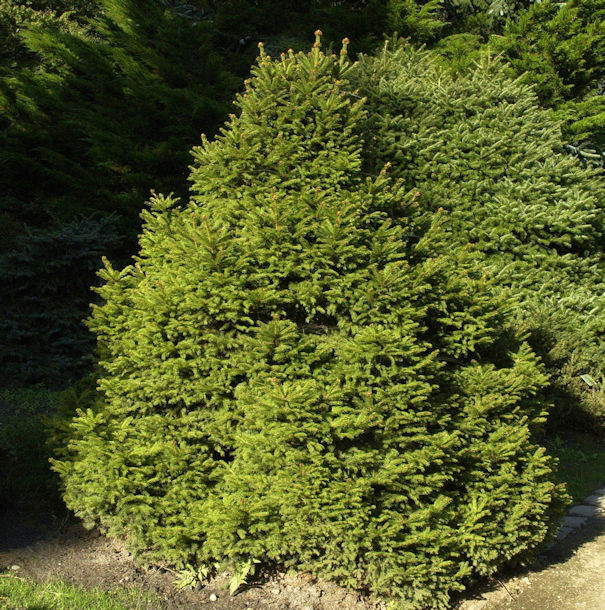 Gnomfichte 25-30cm - Picea abies