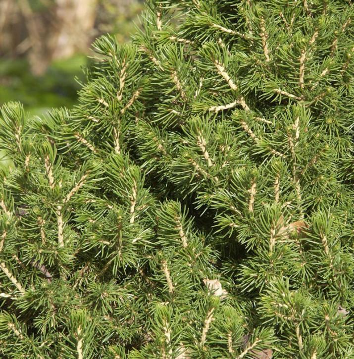 Hochstamm Zwerg Fichte Tompa 40-60cm - Picea abies