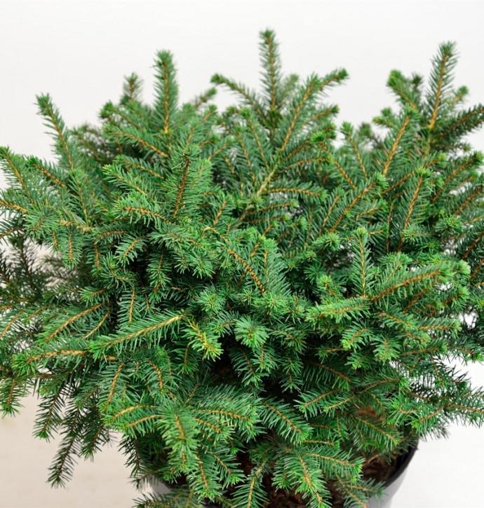 Serbische Kugelfichte Karel 40-50cm - Picea omorika Karel