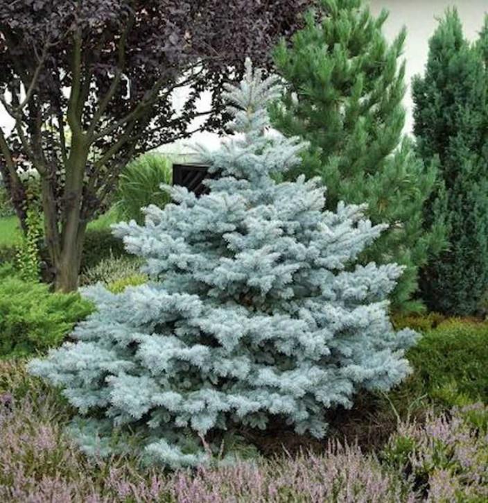 Ediths Blaufichte 100-125cm - Picea pungens