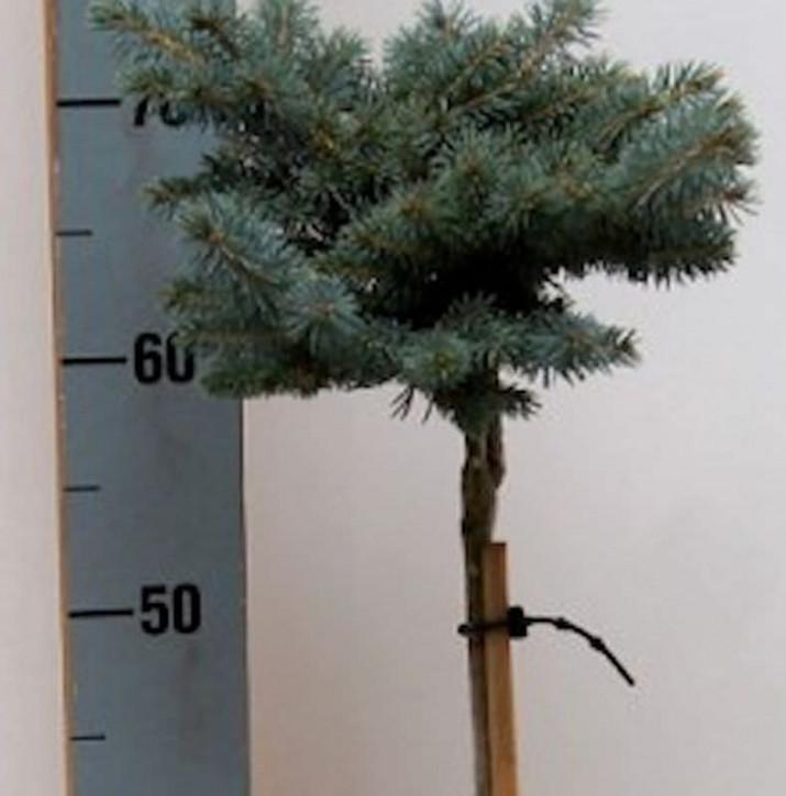 Hochstamm Zwergblaufichte 40-60cm - Picea pungens