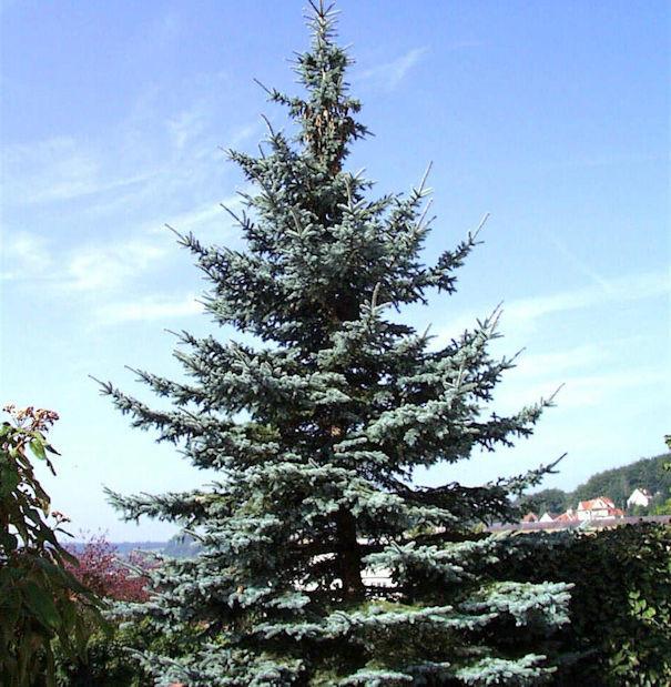Blaufichte Koster 50-60cm - Picea pungens