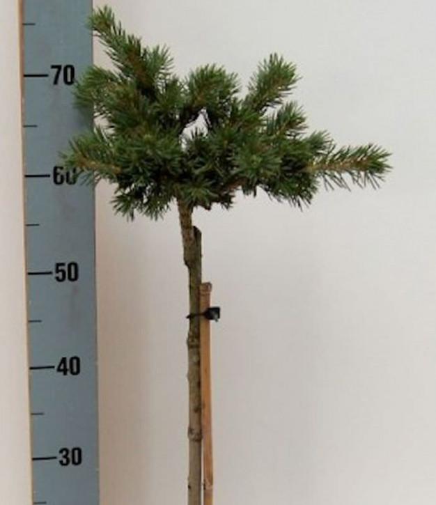Hochstamm Zapfenfichte Lucky Strike 40-60cm - Picea pungens